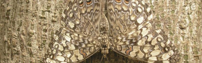 kaum sichtbarer Schmetterling auf Baumrinde