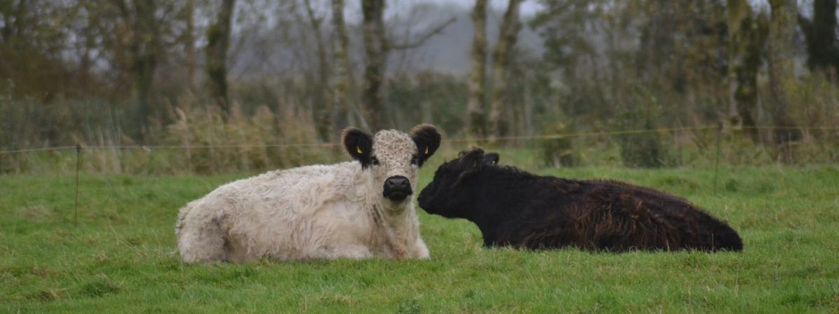 Kühe - gemütlich den Tag genießen