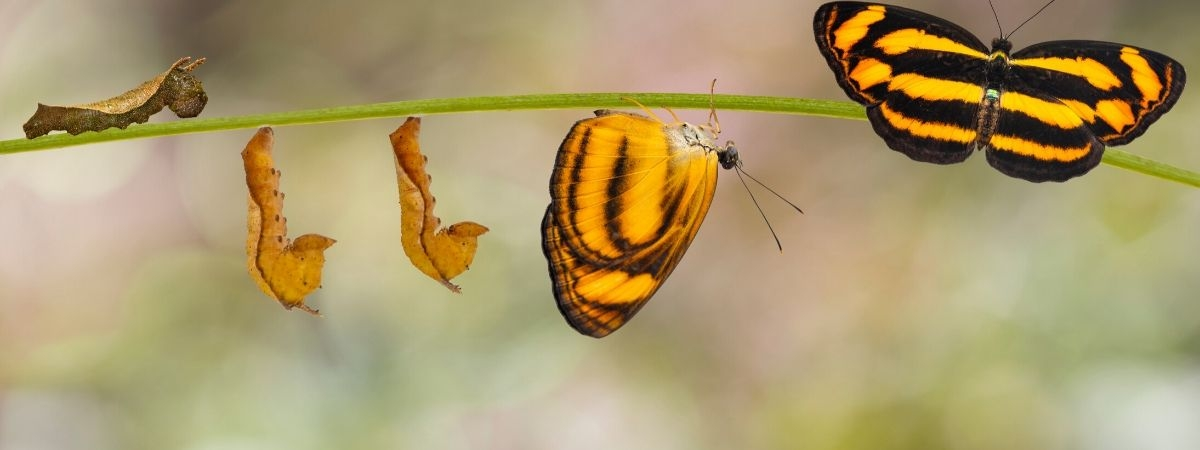 Raupe - Puppe - Schmetterling